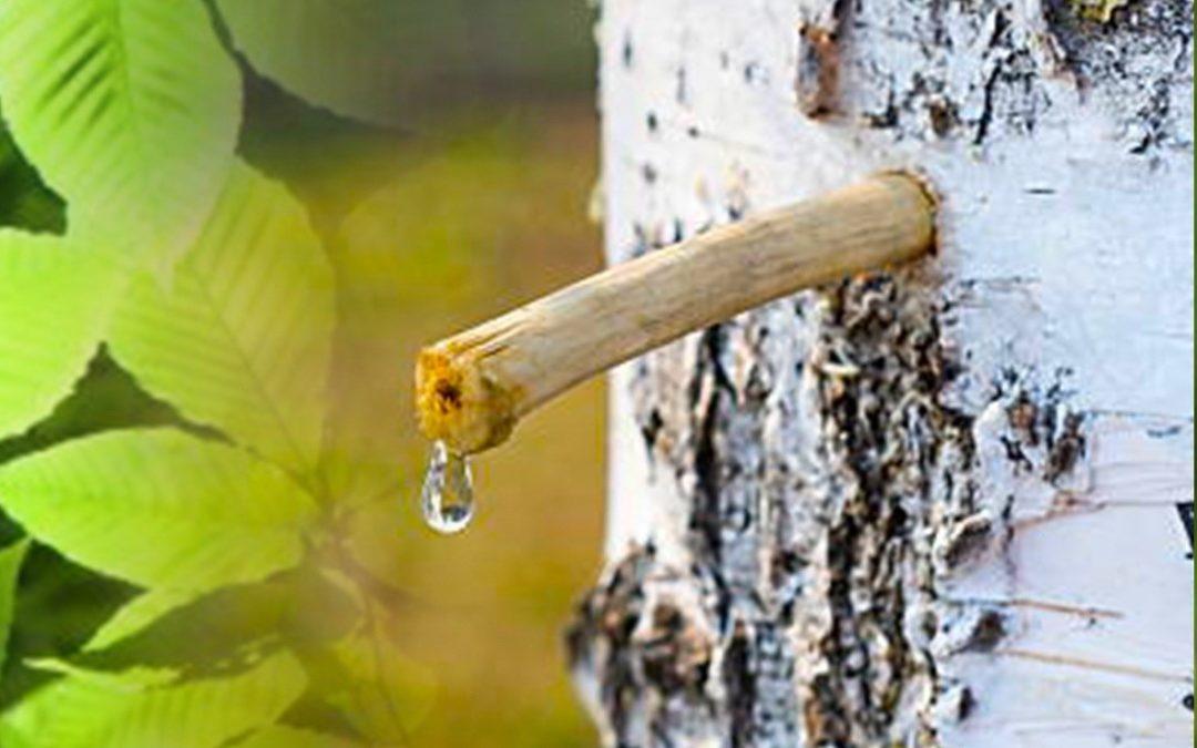 Sok od breze / Brezina voda – Zdravstvene prednosti